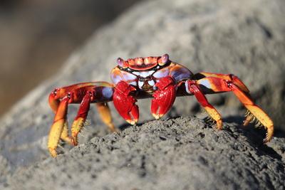Kanaren Krabbe